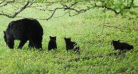 blackbear3.jpg.aspx
