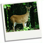 deer-in-great-smoky-mountains-national-park