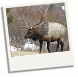 elk-in-the-smoky-mountains