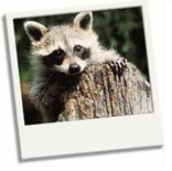 raccoons-in-great-smoky-mountains