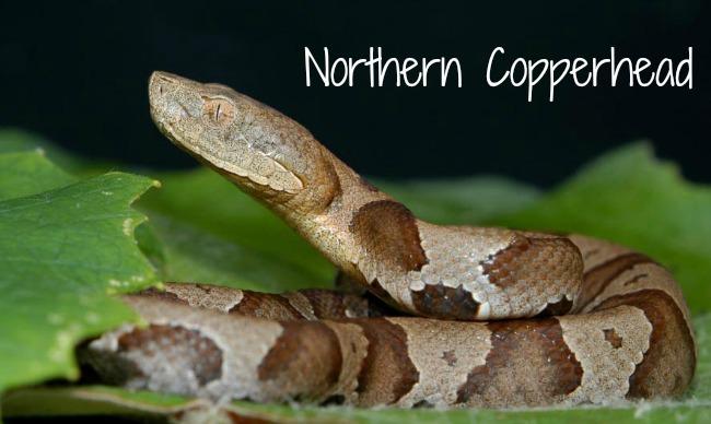 nothern-copperhead.jpg