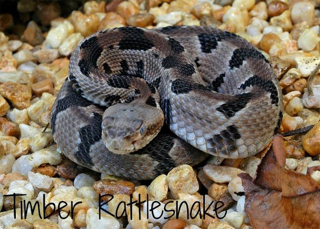 timber-rattlesnake.JPG